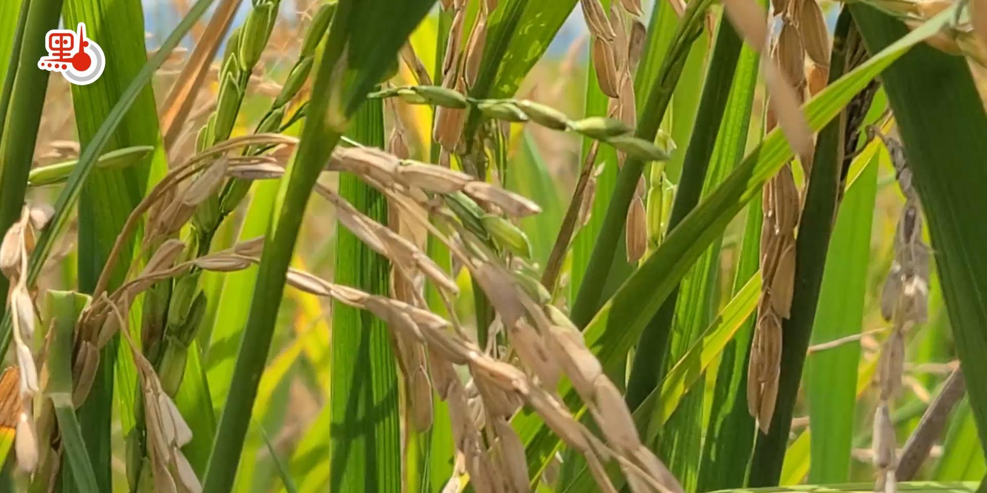 海水也能種水稻!粵產海水稻將與市民見面