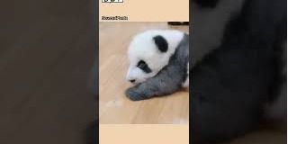 OMG|Baby pandas' bodies are as smooth as liquid
