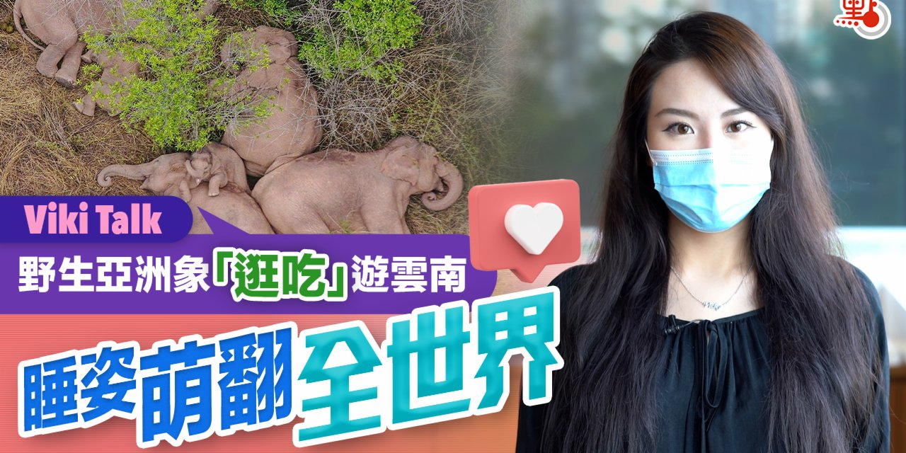 Viki Talk|野生亞洲象「逛吃」遊雲南 睡姿萌翻全世界
